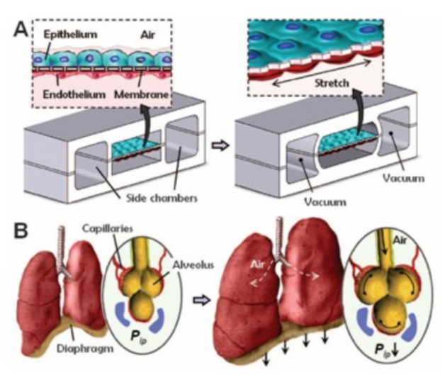 lung-model_organ-on-a-chip